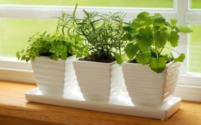 Uzgoj začinskog bilja u kući